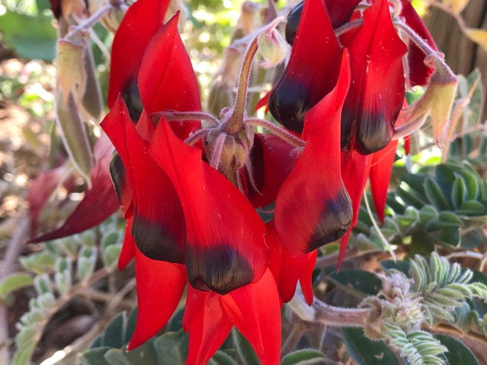 pustinjski grasak - cvet - australija