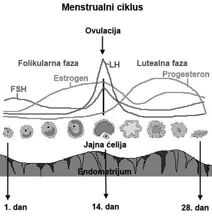 menstrualni ciklus