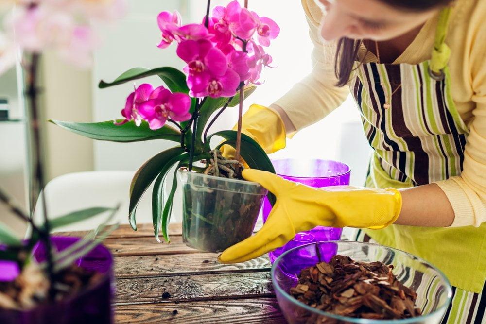 Orhideja u saksiji